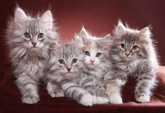 Anasayfa / Twitter I Love Cats, Cute Cats, Funny Cats, Beautiful Kittens, Pretty Cats, Kittens And Puppies, Cats And Kittens, Lots Of Cats, Prehistoric Animals