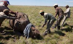 Justiça da África do Sul autoriza venda de chifres de rinoceronte