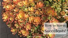 Learn to grow succulents! Proper succulent care is simple once you understand what succulents need & why. Simple steps to succulent success! Succulent Gifts, Succulent Care, Colorful Succulents, Succulents Diy, Succulent Species, Bean Plant, Agave Plant, California Garden, Propagating Succulents