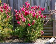 Lovely callistemon reeves pink Google Search