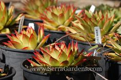 "Echeveria agavoides ""Lipstick"" grows in individual rosettes which are around 6 inches tall and up to a foot in width. The leaves are edged in a bright red 'lipstick' color. This succulent makes an excellent container plant, and It blooms in summer with red flowers tipped in yellow.  #SerraGardens_succulents #echeveria_agavoides_Lipstick #succulents_droughttolerant"
