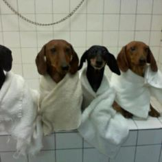 I ❤ Doxies: looks like bathday here when bathing Lola and Rosie