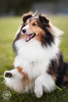 ~ SHELTIE READY TO HERD~