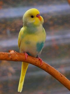 Beautiful pastel parakeet.