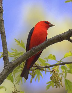 Scarlet Tanager From A Distance | Flickr - Photo Sharing!