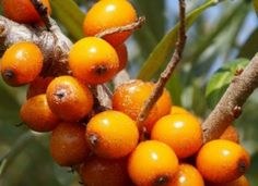 Himalayan Superfruit: The Sea-Buckthorn Berry