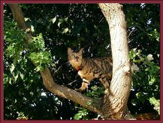 Bengal Cat Lucy Law in her favorite tree.