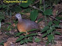 Tawny-breasted Tinamou Nothocercus julius - Google Search