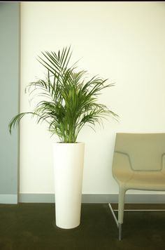 Brighten up your space with Indoor Plants from Uniflora.  Send us your purchasing queries for Indoor Plants, by mailing us at info@uniflora.ae or call us on 04-321-6545  #Uniflora #Indoor #Plants #home #decor #office #decor #restaurants #cafes #schools #urbanjungle #greenspace #Dubai #UAE