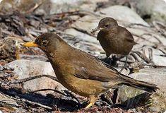 Remolinera-negra-cinclodes-fuligineux-merle-austral- Birds of Falkland islands Flight Feathers, Iguazu Falls, Sea Birds, Bird Species, Lake District, Virtual Tour, Stables, Mammals, Habitats