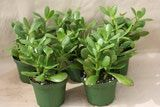 Jade Plants—How to Grow Crassula Species: The jade plant (C. ovata) will grow into an attractive, low shrub with enough light. Leaf color develops with better light.