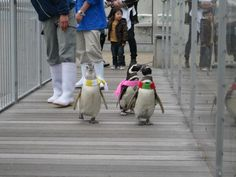 Penguins taking a family vacation