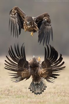 ~~Dive Bomb | Two White Tailed Eagles | by Mario Severi~~