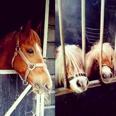 Welkom new pony #pony #ponys #instagirl #instagirls #outdoorliving #sunday #dressage #jumping # Quella  #winneyandpoohtheshetlandponies