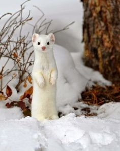 Ermine.       ••••(KO) These beautiful little creatures were hunted and trapped for there fur to make expensive coats for wealthy women years ago. Since trapping ermine was outlawed their numbers have increased, thank goodness! Nobody needs a fur coat to enhance their looks! Buy the faux fur coats! Cheaper and just as beautiful!
