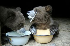 Baby bears drink milk
