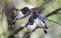 Swallows feeding young chicks, Uto, Finland (Rex)