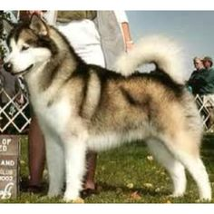 I love this ones coat. The blonde under the black:) #siberian husky