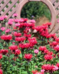 Bee Balm Flower Images, Herb Garden, Botany, Gardening Tips, Witches, Perennials, Tiny House, Bliss, The Balm