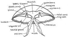Image from http://lanwebs.lander.edu/faculty/rsfox/invertebrates/images/scyphozoa4L_x550_x_303x.gif.