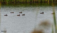 SingleMalt-CapeBreton-NorvellHimself: Ring Necked Duck - Aýthya colláris,  Just Off The ...