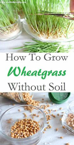 How To Grow Wheatgrass Without Soil is part of Growing wheat grass - You only need wheat grains and water to grow wheatgrass without soil! Growing wheatgrass for fresh wheatgrass juice at home is easy, cheap and so much fun! Growing Sprouts, Growing Microgreens, Growing Wheat Grass, La Germination, Cat Grass, Grass For Cats, Cat Garden, Garden Rake, Growing Vegetables