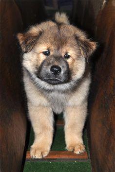 Eurasier puppy