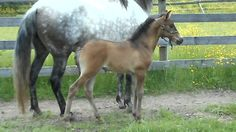 Mireya del Bosque - 2017 PRE filly by Hercules G and out of Marquesa del Bosque (Indiano XVIII)