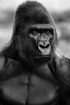 Beautiful:     Moja the gorilla at Gladys Porter Zoo in Brownsville, Texas.  By: Reynaldo Leal