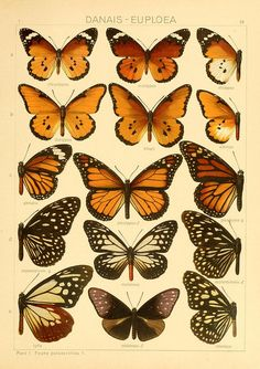 [Plates] - The Macrolepidoptera of the world : - Biodiversity Heritage Library Butterfly Illustration, Butterfly Drawing, Nature Illustration, Botanical Illustration, Butterflies Flying, Vintage Butterfly, Monarch Butterfly, Botanical Prints, Wall Collage