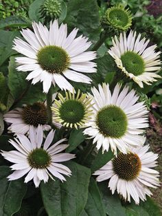 Very pronounced cones open green with double pure white petals-Coneflower Virgin