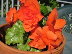 Tuberous Begonias-How To Store For The Winter and Restart In The Spring