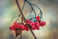 Free Image on Pixabay - Rowan, Winter, Snow, Berry, Red Free Pictures, Free Images, Bokeh Photography, Winter Wallpaper, Gardening, Winter Snow, Rowan, Nature, Blossoms