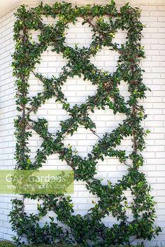 GAP Gardens - Trachelospermum jasminoides - Star Jasmine climbing ...