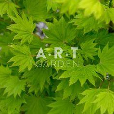 Erable du japon Acer palmatum 'Aureum'