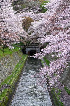 BIWAKO Canal  Cherry Blossoms....