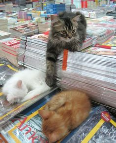 In Bangalore, India, there is a bookstore where kitties call the shots. Everyday they pick a spot of their choice at the store and nap on a stack of new books or magazines. When people come by to pet them, they'd gladly turn around and offer their belly.