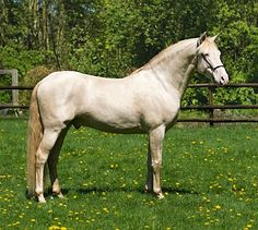 Perlino Pura Raza Española stallion, Seductor MG.