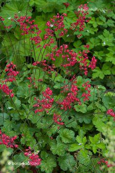 A tűzgyöngyvirág, avagy tűzeső értékes kerti évelő, amelynek virágzása a késő tavasz és a kora nyár időszakára esik. Heuchera, Garden Plants, Planting Flowers, Places To Visit, Herbs, Landscape, Green, Gardening, Garten