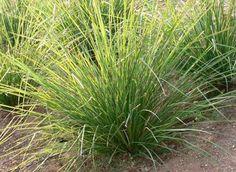 Vetiver: alternativa para purificar el agua, descontaminar suelos y favorecer otros cultivos agrícolas