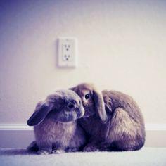 Mac & Cheese; holland lop bunnies.
