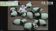 中国 双子のパンダがことし9組生まれる