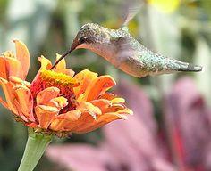 Hummingbirds are fascinating to watch in the Idea Garden - they favor warm-colored tubular flowers. Sensory Garden, Welcome To My House, Photo Pin, Bird Species, Hummingbirds, Bird Watching, Dream Garden, Herb Garden, Warm Colors