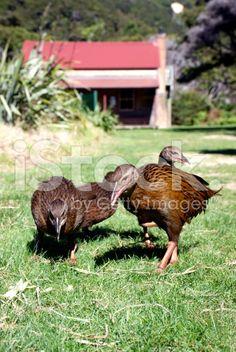 Weka, Whariwharangi Hut, Abel Tasman National Park, New Zealand royalty-free stock photo