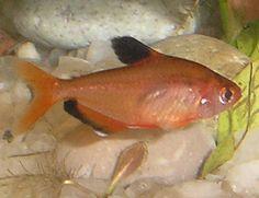 Serpae (Hyphessobrycon eques).