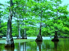 Visual Perspective: Cypress Trees As Bass Cover