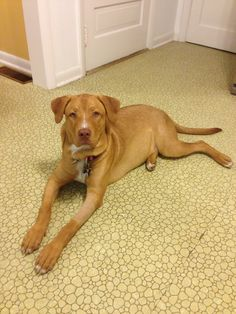 Red nosed Pitbull/lab mix. This is what my baby looks like except she has a little more fur.