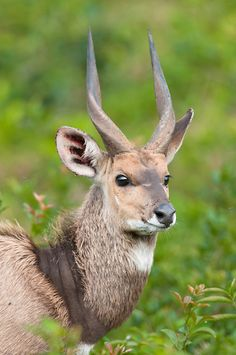 Bushbuck - african conservation photography
