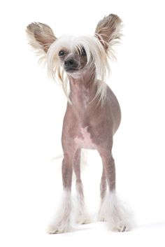 Chinese Crested, we have 3 different chines crested nail art stickers at janchristie.com