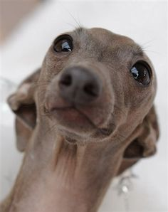 italian greyhound - Chase gives this look constantly! Can't get mad at a face like that and ears all flat back